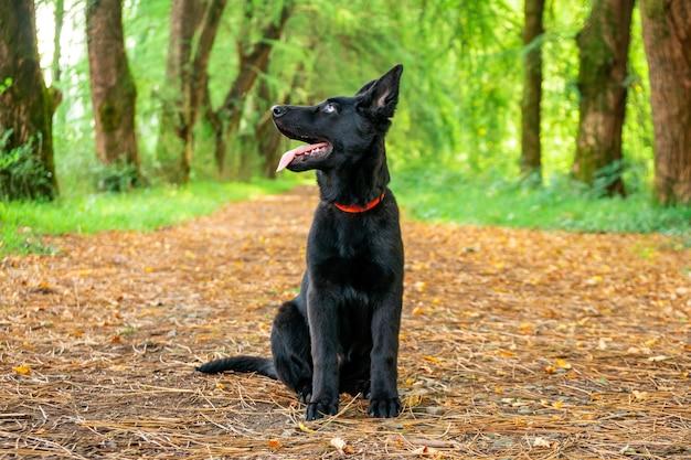 Портрет черной немецкой овчарки в парке. животное.