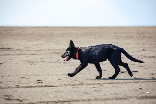 Портрет черной немецкой овчарки на пляже с черным песком. животное.