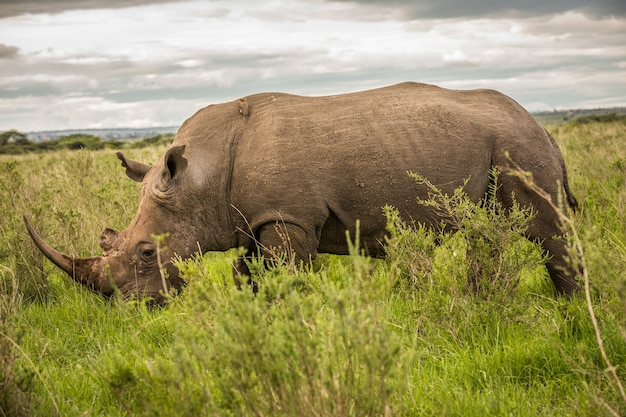 Портрет черного носорога в масаи мара