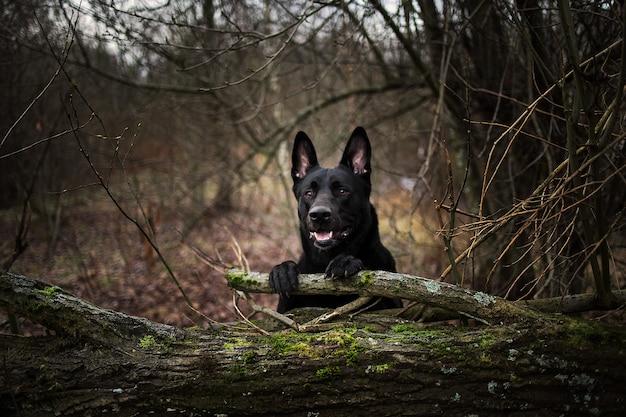 森の外の黒い羊飼いの犬の肖像画