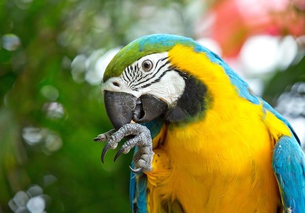 Портрет голубого и золотого ара в естественной атмосфере.