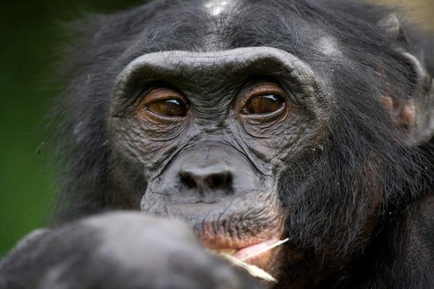 ボノボの肖像画。閉じる。コンゴ民主共和国。ローラヤボノボ国立公園。