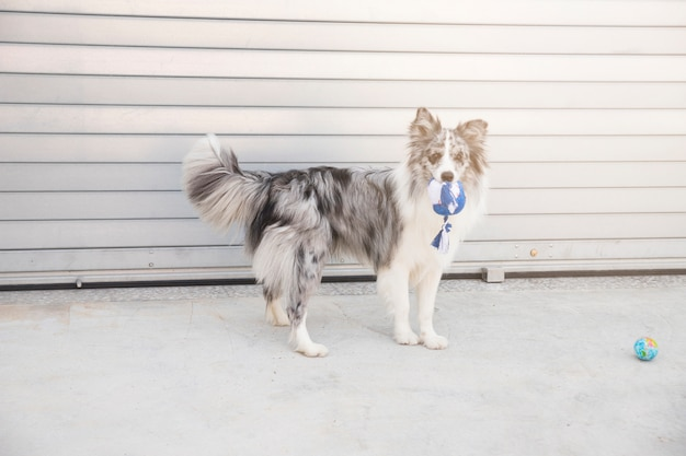 ボーダーコリー犬の肖像画