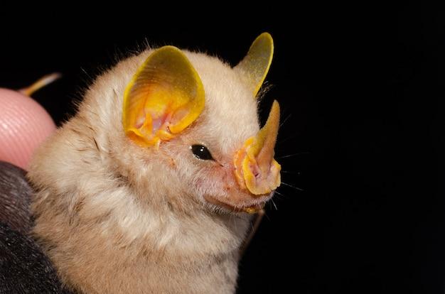 브라질 박쥐, 맥코넬의 박쥐의 초상화