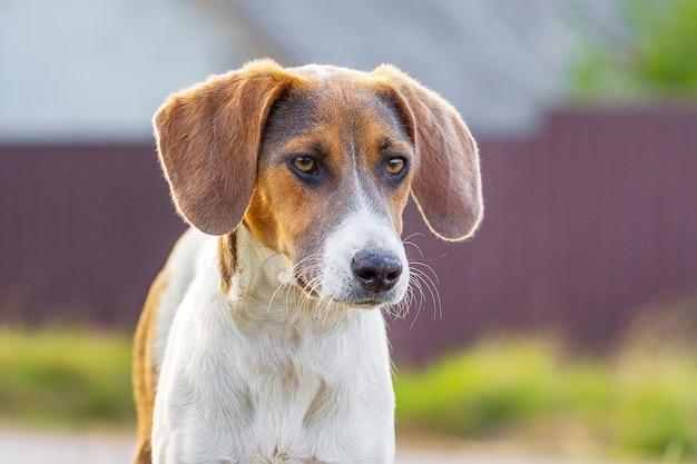 Портрет собаки породы эстонская гончая с опущенными ушами