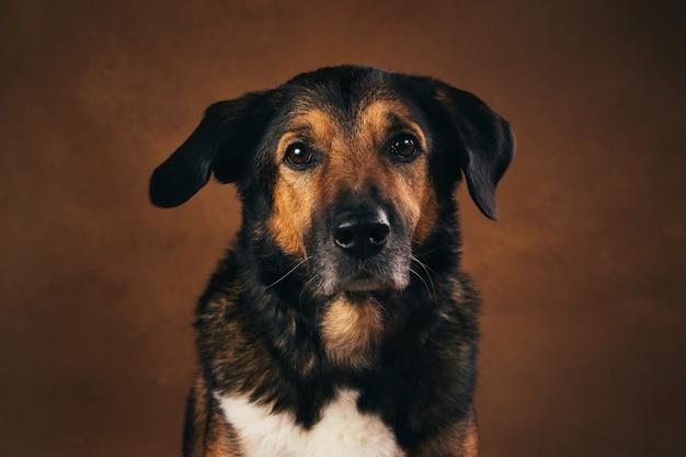茶色のスタジオに座っている茶色と黒の雑種犬の肖像画