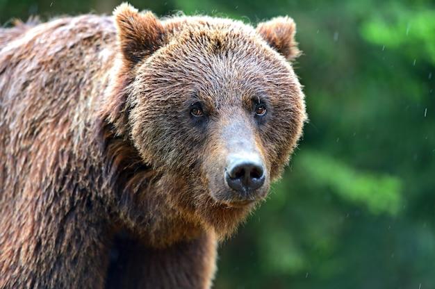 自然の生息地でのヒグマの肖像画
