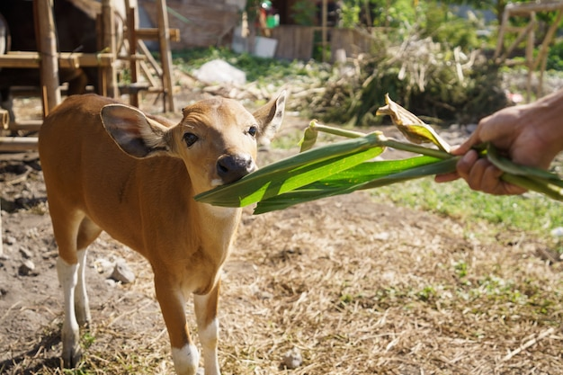 茶色の牛やインドネシアの伝統的な農場での雄牛の肖像画