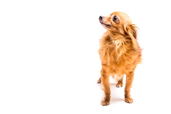 Portrait of brown dog looking away on white background