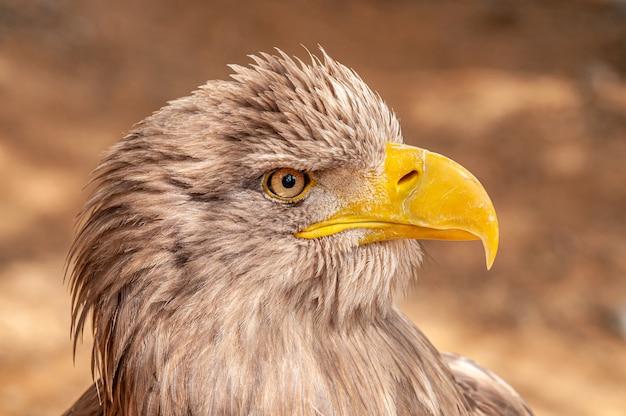 Портрет коричневого орла