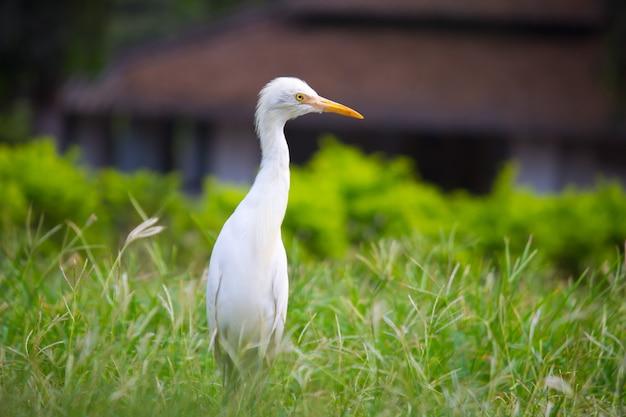 Bubulcus ibisまたはheronの肖像画、または自然環境でアマサギとして一般に知られている肖像画