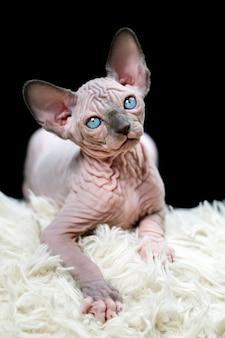 Портрет котенка канадского сфинкса с большими голубыми глазами, лежащего на белом ковре и черном фоне