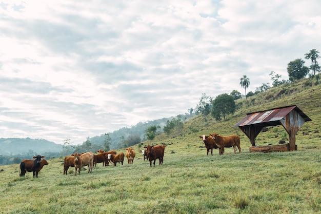 Портрет крупного рогатого скота с местной фермы в аргентине.