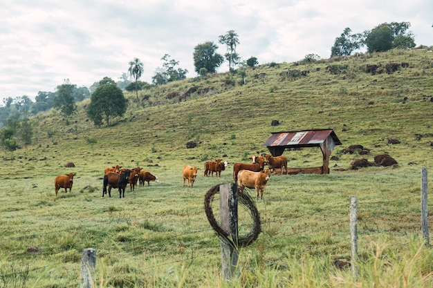 アルゼンチンの地元の農場からの牛の肖像画。