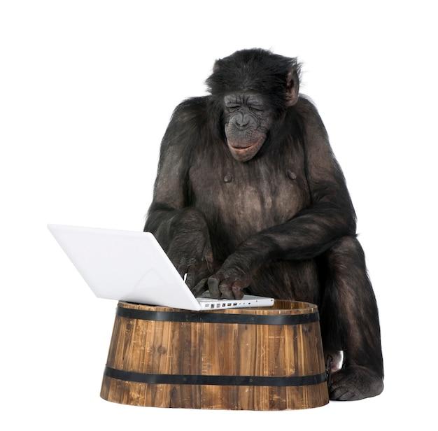 Изолированный портрет шимпанзе на белизне. (смешанная порода между шимпанзе и бонобо)