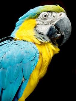 Портрет красочного попугая, изолированного на черном