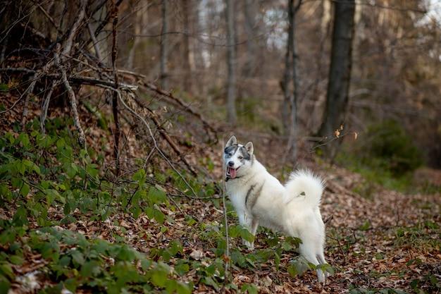 Портрет сумасшедшей и счастливой собаки породы сибирский хаски с тонке, болтающейся в ярко-желтом осеннем лесу. симпатичная бежево-белая хаски прыгает в лесу золотой осени на закате.