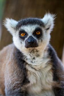 Портрет коронованного лемура (lemur catta) с широко открытыми глазами и смотрящего в камеру. крупным планом пушистый мадагаскар серо-черный жирный смешной лемур на размытом фоне. млекопитающее с полосатым хвостом