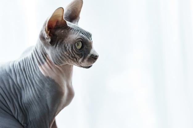 キュートでスマートなカナダのスフィンクス猫の肖像画