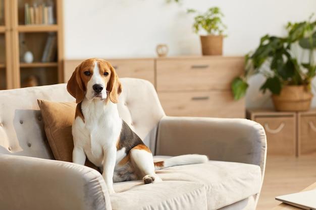 Портрет милой собаки породы бигль, сидящей на диване в уютном домашнем интерьере, освещенном солнечным светом