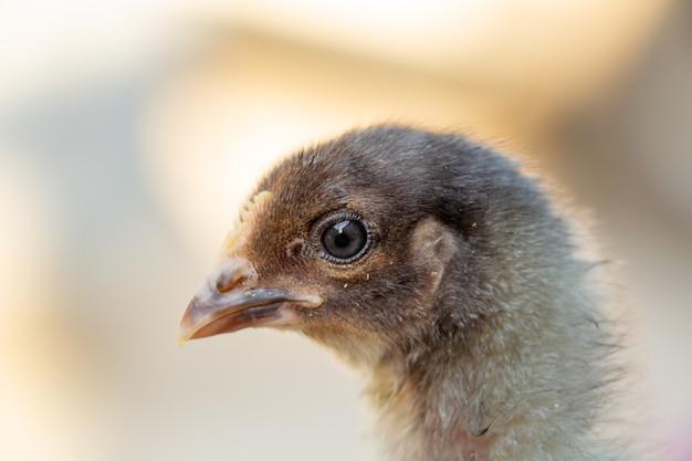 Портрет милой черно-серой курицы на ферме