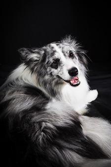 かわいいボーダーコリー犬の肖像画