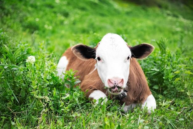 Портрет милого теленка коровы, лежа на зеленой траве на лугу и еды. смотрю в камеру.