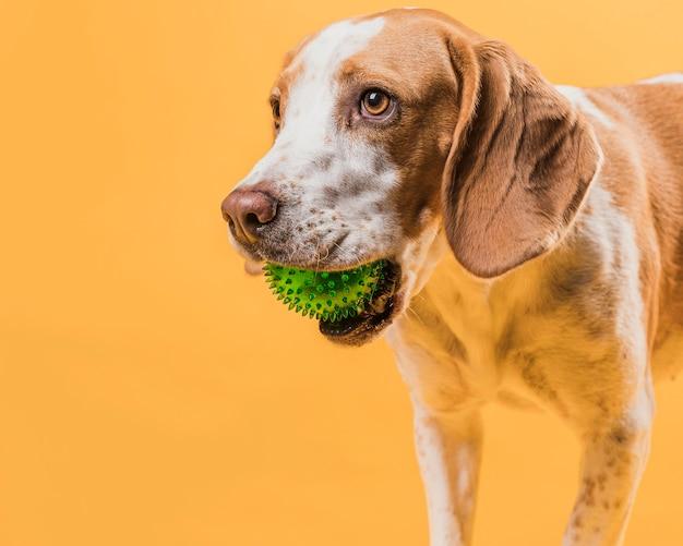 Портрет милая собака держит резиновый мяч