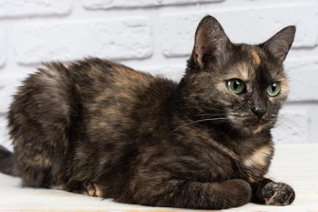 白い背景に目をそらしている黄色い目を持つかわいい国産べっ甲猫の肖像画。