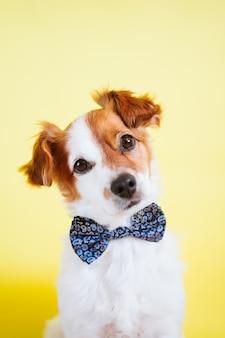 黄色の背景に蝶ネクタイを着てかわいいジャックラッセル犬の肖像画