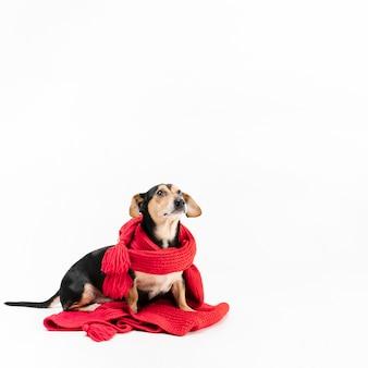 Портрет милая маленькая собака покрыта шарфом