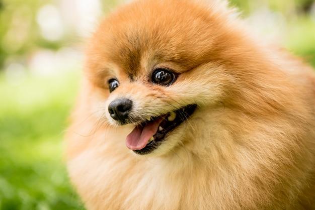 Портрет милой померанской собаки в парке.