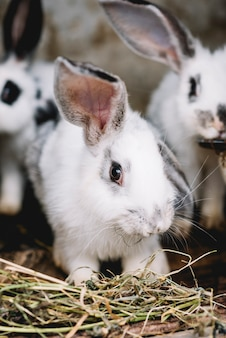 Portrait of cute rabbit eating grass
