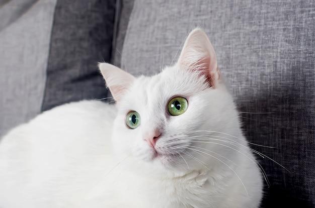 귀여운 터키 앙고라 고양이의 초상화