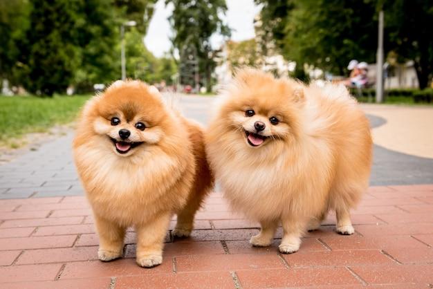 公園でかわいい2つのポメラニアン犬の肖像画