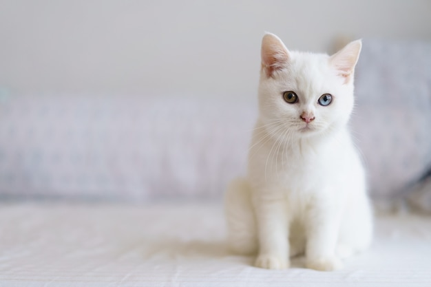 Портрет милого белого котенка британской короткошерстной кошки, смотрящего на камеру на кровати. домашнее животное. глядя на копировальное пространство. баннер