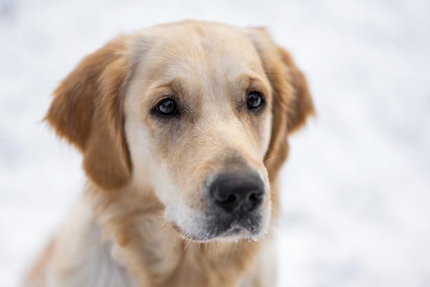 Портрет милой молодой собаки золотистого ретривера, изолированной на белом фоне снега, крупным планом, вид собачьей морды