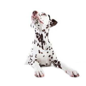 白で隔離、脇を見て、ダルメシアンの犬座の肖像画