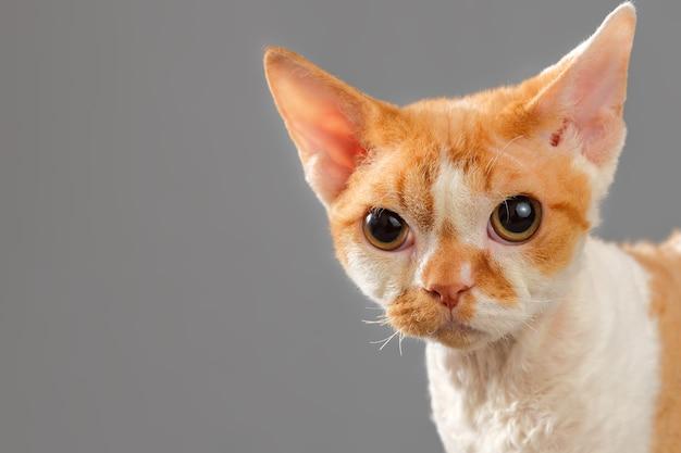 暗い背景にデボンレックス猫の肖像画