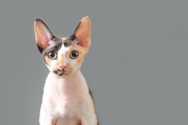 회색 배경에 데본 렉스 고양이의 초상화