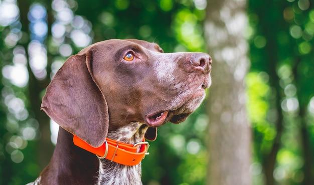 Портрет собаки породы немецкий короткошерстный пойнтер крупным планом в профиль