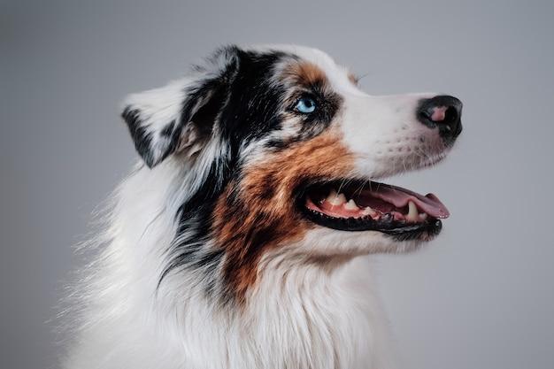 スタジオで家畜と人間の親友の肖像画。彼の舌を示す白い背景の遊び心のある訓練された犬。