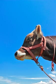 空に対して国内の牛の肖像画