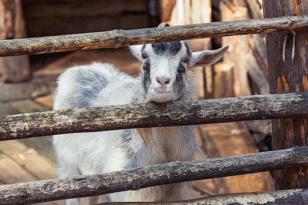 Портрет отечественного козла на ферме, деревянный