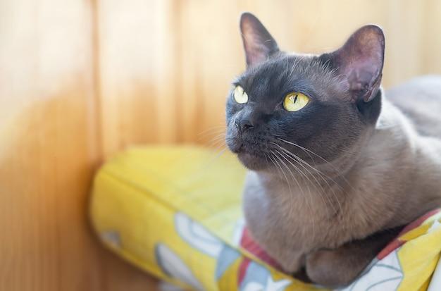 Портрет домашней породистой коричневой кошки с ярко-желтыми глазами, расслабляющая подушка копирование пространства
