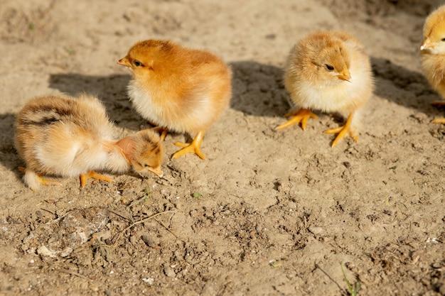 Портрет пасхального маленького пушистого желтого цыпленка, идущего во дворе села в солнечный весенний день.