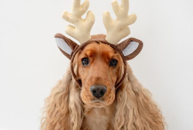 白い壁に自宅でトナカイの角の縁を身に着けているイングリッシュコッカースパニエル犬の肖像画