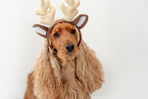 Портрет собаки английского кокер-спаниеля в ободке из оленьих рогов у себя дома