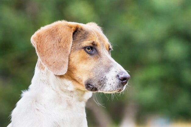 ぼやけた背景のプロファイルでエストニアの猟犬の肖像画_