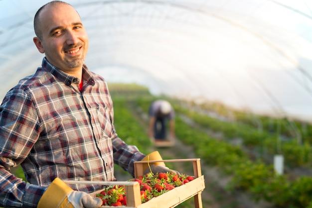温室でイチゴの果実でいっぱいの木枠を保持している農家の肖像画。